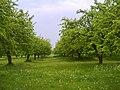 Яблучний сад село Тристень.jpg