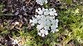 פרח לבן 1.jpg
