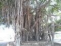 شجرة معمرة.JPG