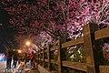 【台中。泰安景點】泰安櫻花季 (33020535371).jpg