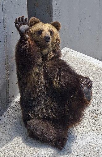 Ussuri brown bear - Image: のぼりべつクマ牧場8