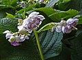 叉葉藍 Deinanthe caerulea -溫哥華植物園 VanDusen Botanical Garden, Vancouver- (36425801851).jpg