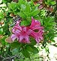 密毛高山杜鵑 Rhododendron hirsutum -維也納大學植物園 Vienna University Botanical Garden- (28207968541).jpg