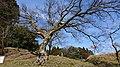 峰山陣屋跡のエノキ11.jpg