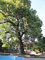 武夷山市列宁公园古树木 - panoramio.jpg