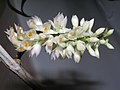 白牙刷石斛 Dendrobium secundum v alba -香港沙田洋蘭展 Shatin Orchid Show, Hong Kong- (9240155142).jpg