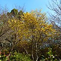 船宿寺の蝋梅 御所市五百家 Wintersweet blossoms in Senshukuji 2012.1.18 - panoramio.jpg