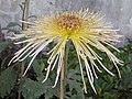 菊花-碧琉璃 Chrysanthemum morifolium 'Greenish Lazurite' -香港圓玄學院 Hong Kong Yuen Yuen Institute- (12026695474).jpg