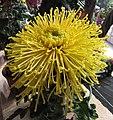 菊花-金飛舞 Chrysanthemum morifolium 'Golden Fly Dancing' -香港圓玄學院 Hong Kong Yuen Yuen Institute- (12099375874).jpg