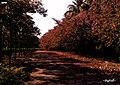 落英缤纷(海洋公园停车场)-By Bigball - panoramio.jpg