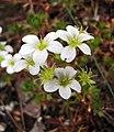 虎耳草屬 Saxifraga trifurcata -哥本哈根大學植物園 Copenhagen University Botanical Garden- (36744793832).jpg