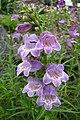 釣鐘柳屬 Penstemon comarrhenus -哥本哈根大學植物園 Copenhagen University Botanical Garden- (36893946346).jpg