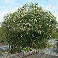 馬見丘陵公園・北エリアにて キョウチクトウの木 Oleander shrubs 2012.6.07 - panoramio.jpg