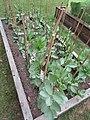 -2019-05-17 Broad bean plants, Trimingham.JPG