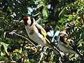 -2019-07-23 Two Goldfinches (Carduelis carduelis), Trimingham.JPG
