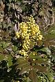 - Mahonia aquifolium 01 -.jpg