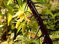 Solanum atropurpureum, Malevolence, Purple Devil - TopTropicals.com