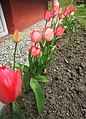 020210424 144757 Red tulips.jpg