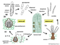 04 03 49 life cycle, Mycosphaerella, Mycosphaerellales, Ascomycota (M. Piepenbring).png