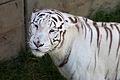 08-2011. Panthera tigris tigris - Texas Park - Lanzarote -TP01.jpg