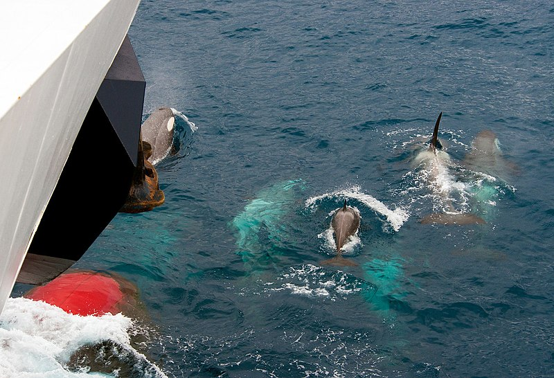 091201 south georgia orca 5127 (4173388802).jpg