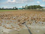 09461jfRoads Paddy fields Domesticated ducks Paligui Candaba Pampangafvf 23.JPG