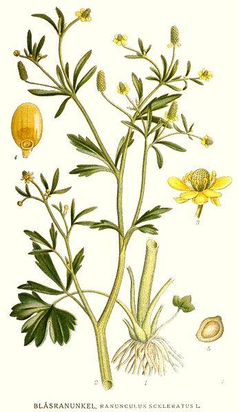 File:163 Ranunculus sceleratus.jpg