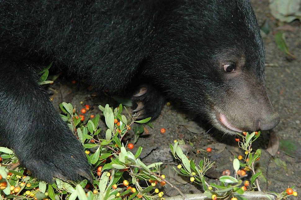 19-Formosan Black Bear