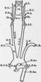 1911 Britannica - Human Aorta.png