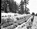 1960. Entomologist Peter W. Orr examines mugho pine at City Nursery for European pine shoot moth. Portland, Oregon. (37989919114).jpg