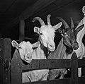1960 Chèvre Saanens à Brouessy Cliché Jean-Joseph weber-2.jpg