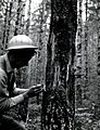 "1961. Earl Nelson with ""cat face"" on young Douglas-fir caused by deep freeze of November 1955. Hebo Ranger District, Siuslaw National Forest, Oregon. (37989977674).jpg"