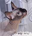 1 adult cat Sphynx. img 014.jpg