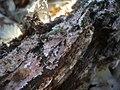 2012-02-24 Steccherinum fimbriatum (Pers.) J. Erikss 201038.jpg