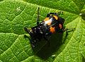 2013-06-04 16-05-45-Coleoptera.JPG