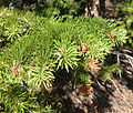 2013-07-14 09 27 54 Douglas fir foliage along Wheeler Peak Scenic Drive in Great Basin National Park, Nevada.jpg