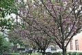 2014-04-06 樱花盛开 - panoramio (11).jpg