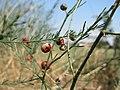 20150822Asparagus officinalis1.jpg
