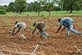 2016.07-443-292ap sorghum,sowing Nintabougoro vlge(Nafanga Cmn.,Koutiala Crc.,Sikasso Rgn),ML thu21jul2016-1012h.jpg