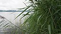 2016.07.17.-09-Westensee Felde--Schilf mit Wassertropfen.jpg