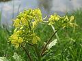20160414Barbarea vulgaris1.jpg