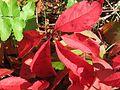 20161002Parthenocissus quinquefolia02.jpg