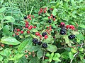 2017-07-04 12 10 23 Ripening blackberries along at walking path in the Franklin Farm section of Oak Hill, Fairfax County, Virginia.jpg