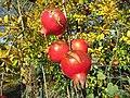 2017-11-30 Pomegranates, Purgatório, Paderne.JPG