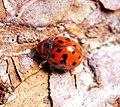 24 spot ladybird (32925782144).jpg