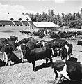 25 שנה לדגניה ב, עדר הפרות-ZKlugerPhotos-00132q0-090717068513841f.jpg