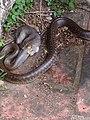 2 Aesculapian Snake in Tuscany Italy. 02.jpg