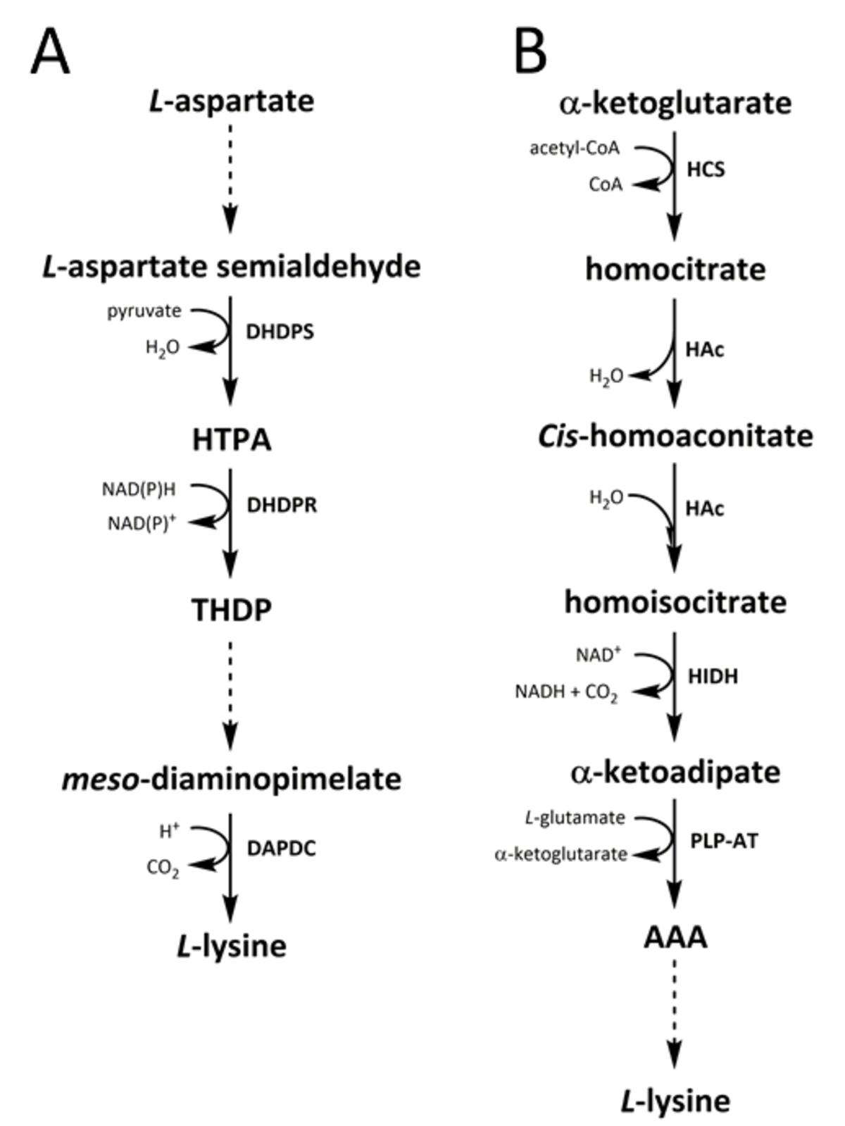 Wikijournal Of Science Lysine Biosynthesis Catabolism