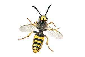 Hymenoptera - Apocrita, with narrow waists: the wasp Vespula germanica