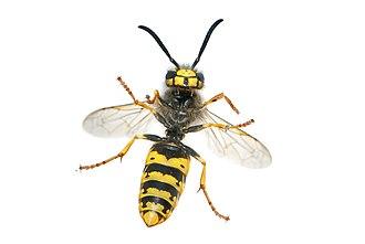 Hymenoptera - Apocrita, with narrow waists: the wasp Vespula germanica